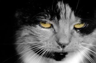 cat-yelloe-eyes