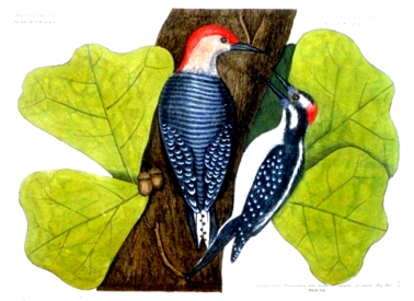 Catesby-Redheaded-Woodpecker