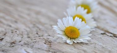 daisy-736549_960_720