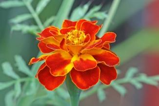 marigold_Tagetes_patula