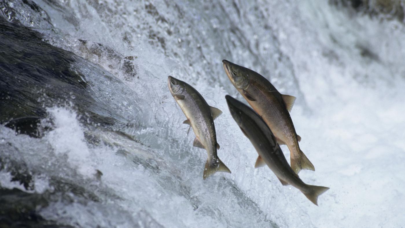 salmon-swim-upstream_d555480847e93dcc
