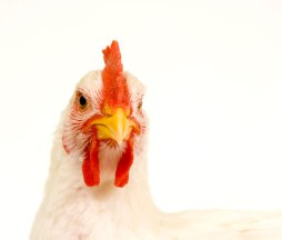 live-chicken