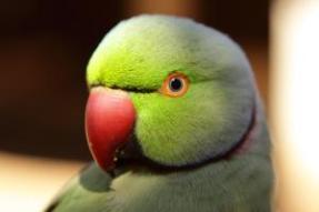 Birds, rose ringed parakeet psittacula krameri, Nadiad, Gujarat, India