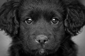 black-dog-eyes