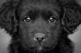 black-dog-eyes
