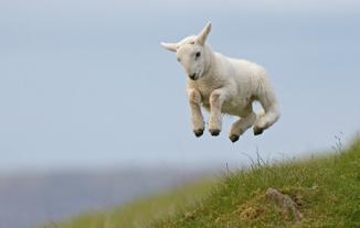 lamb-jumping