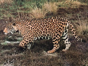jaguar-walks_on_grassland