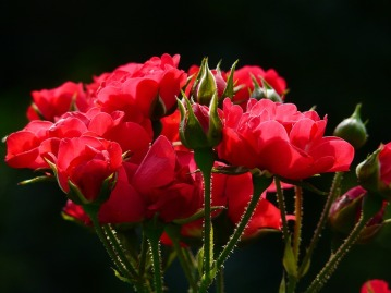 red-roses-4232_960_720