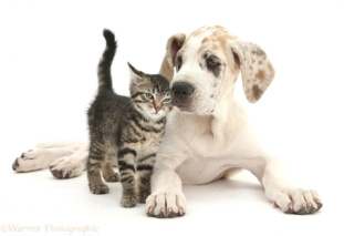 cute-tabby-kitten-with-great-dane-puppy-white-background-1396159751