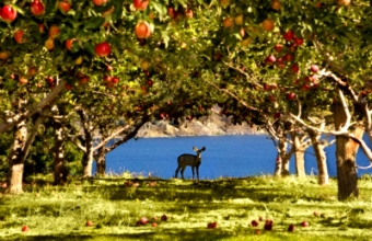 deer_orchard_peachland