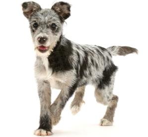 mutt-dog-breed
