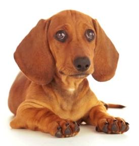 dachshund tan