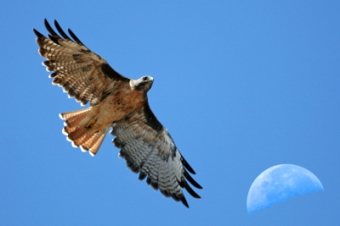 Red-tailed_Hawk_with_moon_over_Estero_Bay_CA_-_composition_red-tail-moon-composite-2630s_(323660913)