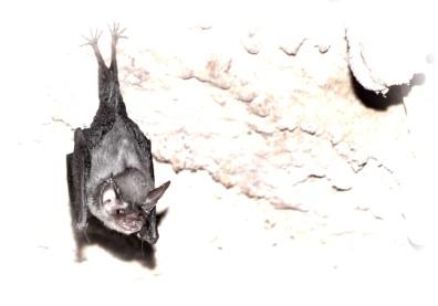 bumblebee bat2