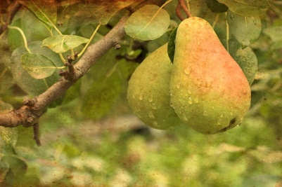 Green wet pears hanging on the tree branch